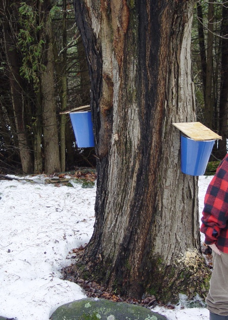 picture of tapping a maple tree