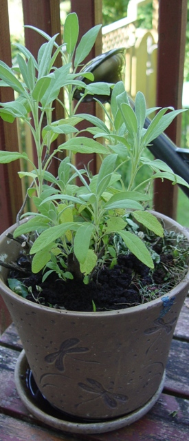 Picture of Potted Sage