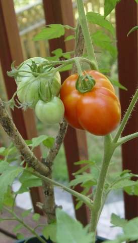 picture of tomato plant - storing tomatoes