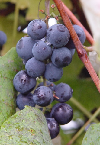 picture of grapes - how to store grapes