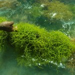 Harvesting seaweed for carrageenan