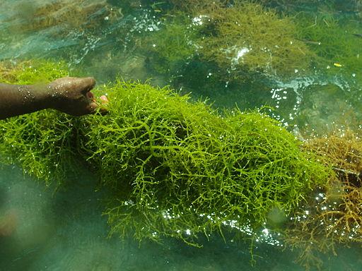 Harvesting seaweed for carrageenan